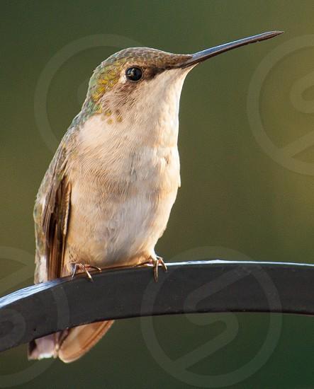 Ruby Throated Hummingbird hummingbird bird photo