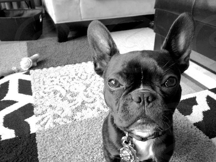 black boston terrier photo