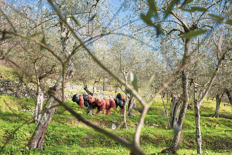 Olive groves of the Italian countryside in Pisa are seen in the distance the nets used for the harvesting of olives. photo