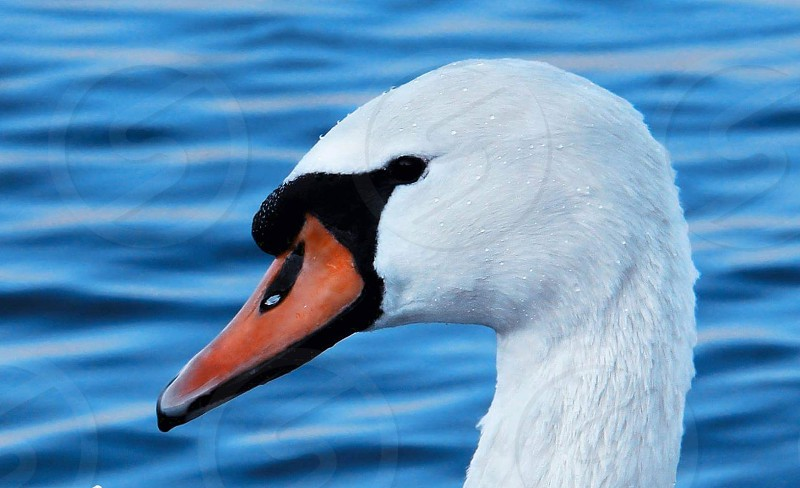 white duck near body of water in close up photography during daytime photo