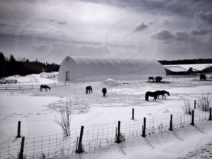 snowy field with horses view photo