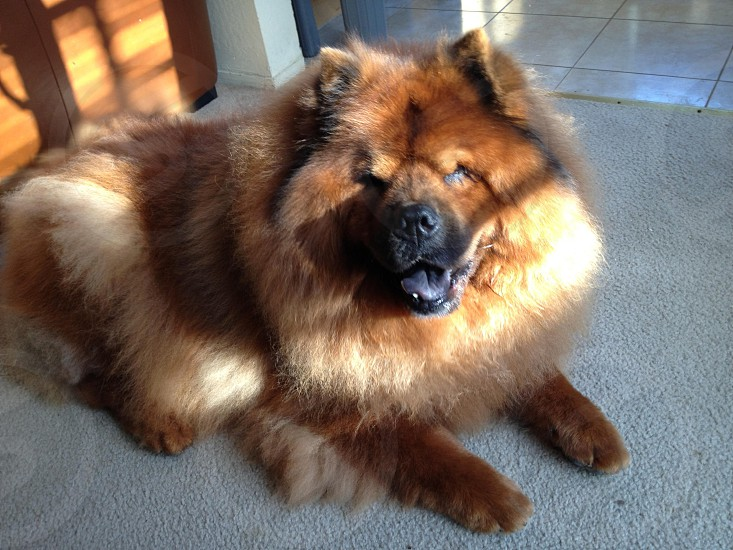 Happy Chow Chow dog photo