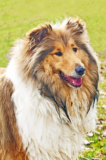 collie dog after a bath in a creek photo