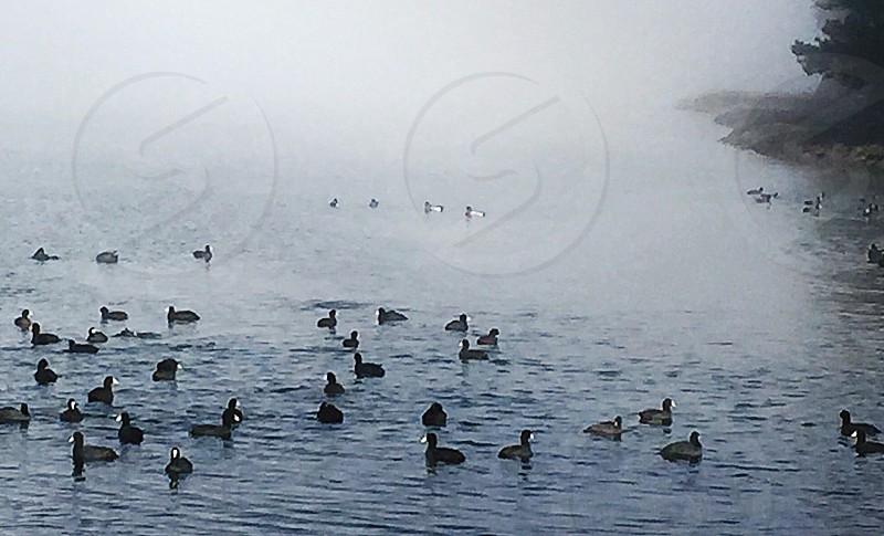 cluster of ducks swimming in still water near beach line photo