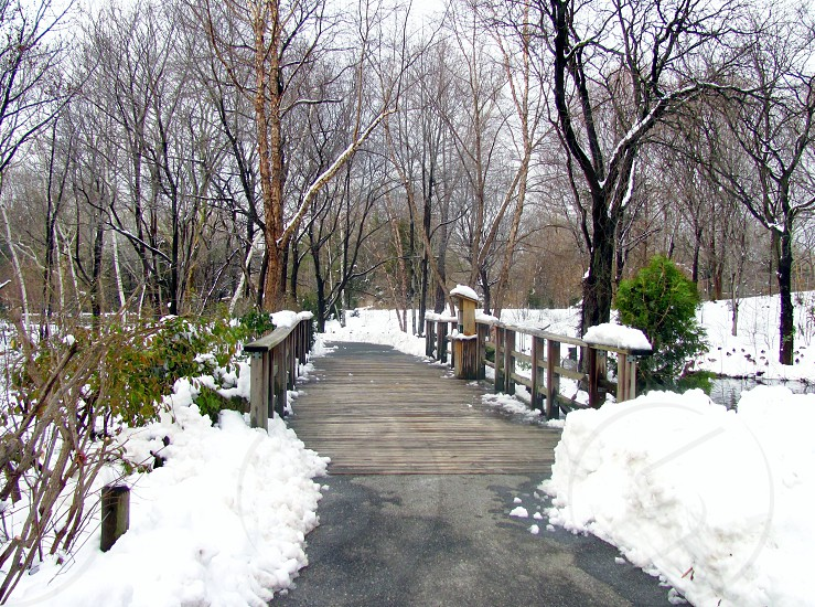 snow-covered wood walkway leading to bare deciduous tree stand photo