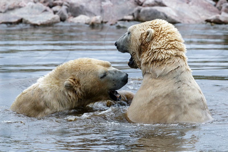 Polar Bear (Ursus maritimus) photo