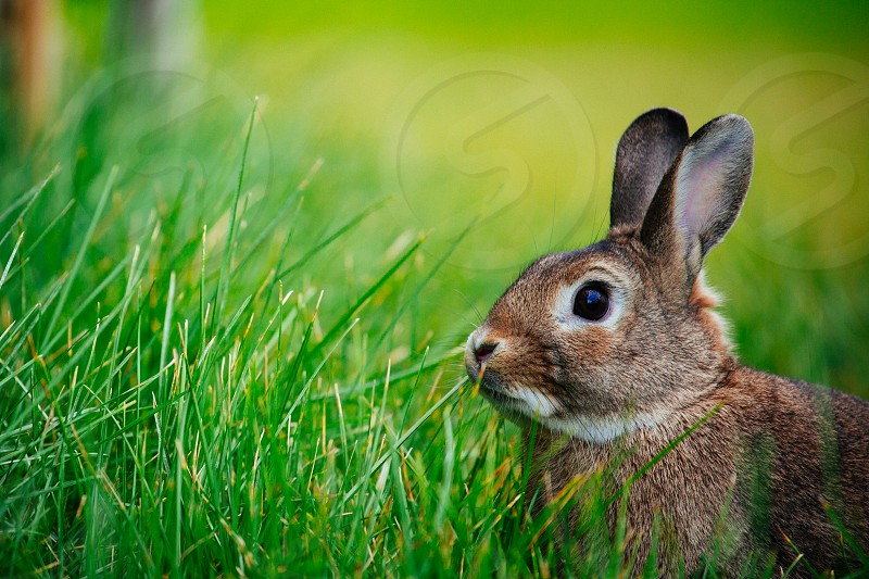brown rabbit in a field of grass photo