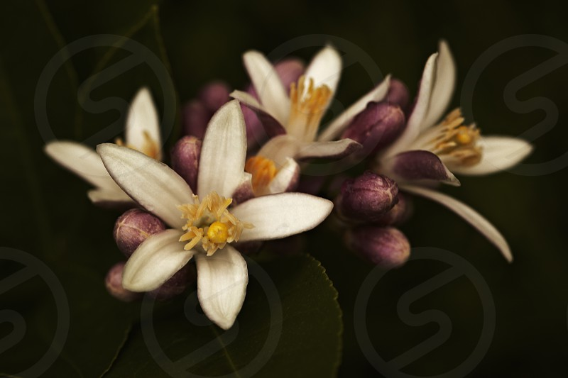 A bouquet of lemon flowers blossoming with fragrance in the tree with the black background. photo