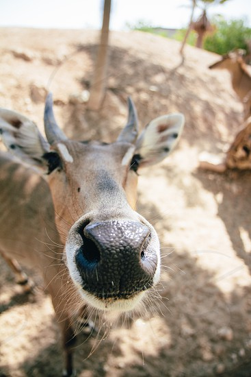 brown horned animal photo