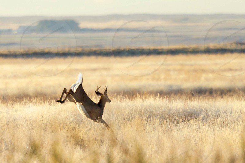 young whitetail buck jumping in tall grass photo