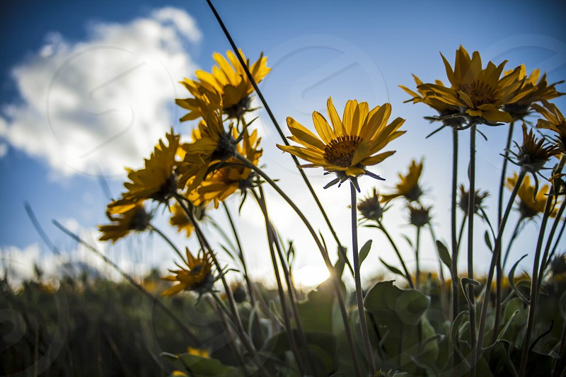 Balsamroot yellow flower blue sky sunset backlight clouds photo