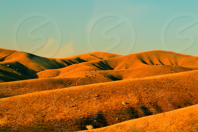 Yellow Hills Cows California photo