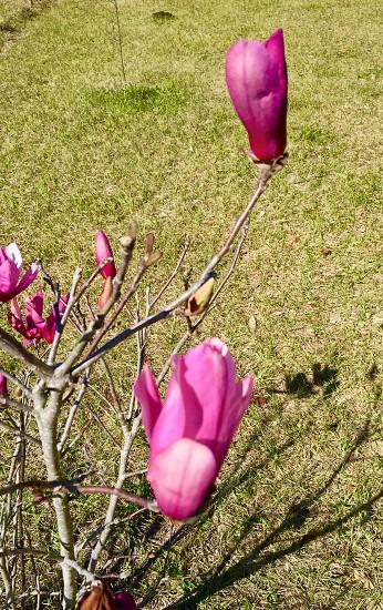 Spring flower Japanese Magnolia  photo