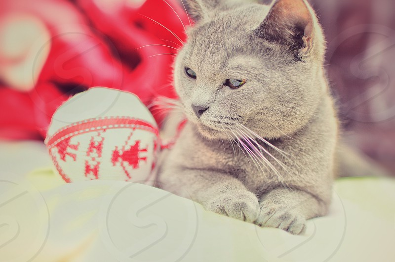 gray short coated cat on white textile beside white and red fabric ball photo