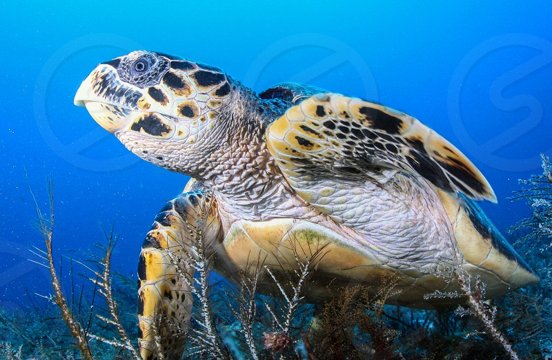 Hawksbill turtle resting on a reef in Cozumel Island Mexico photo