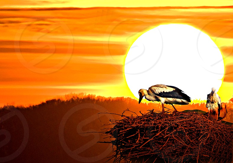 storks in a nest with sunset photo