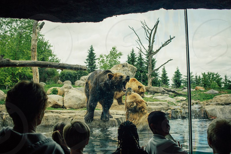 bears at the zoo growling at each other photo