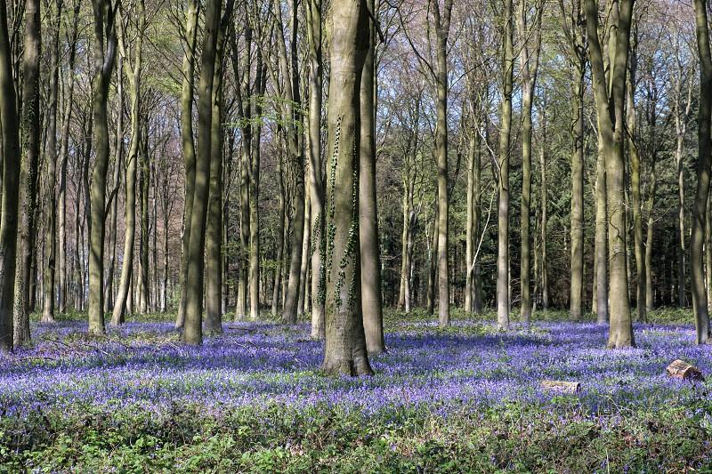 Bluebells in Wepham Wood photo