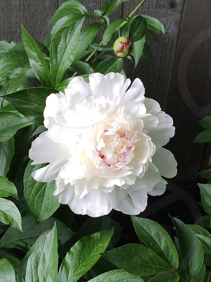 Perfect peony photo