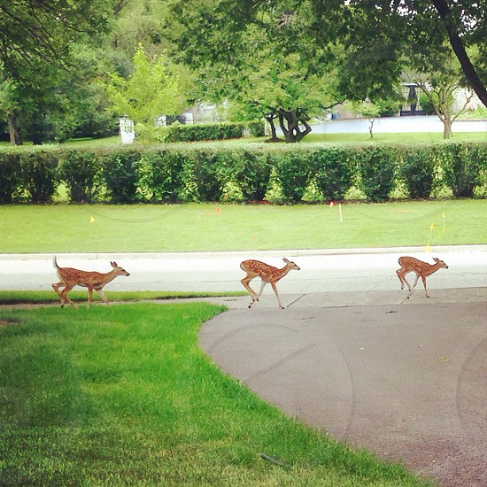 three brown deers in middle of street during daytime photo