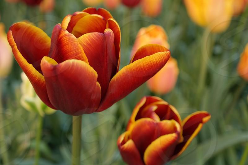 Beautiful Tulipsorangeflowers photo