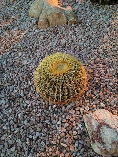 green round cactus plant photo