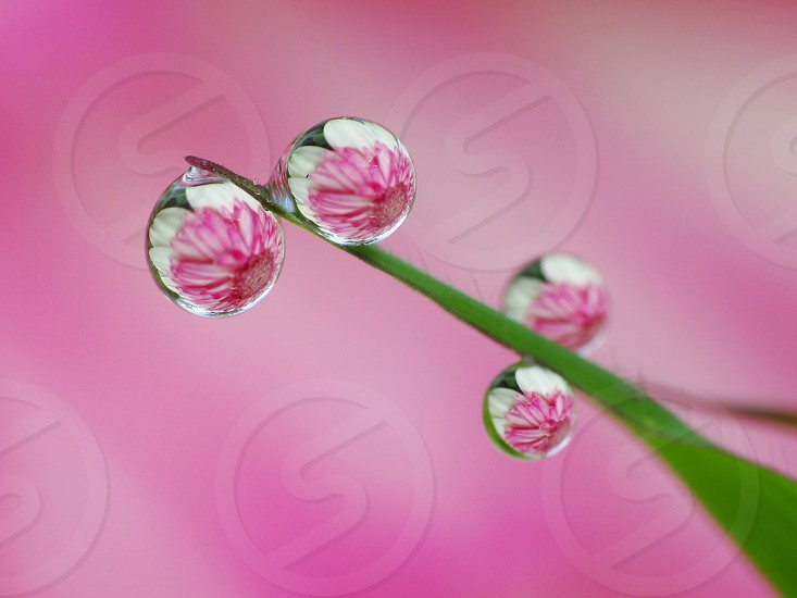 Colorful flowers reflect inside dew drops                     photo