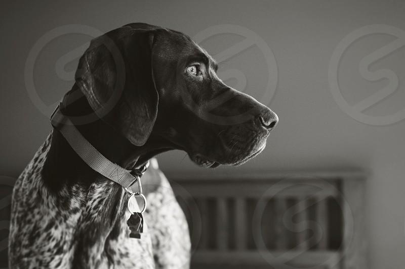 Dog dog portrait pet portrait black and white photo