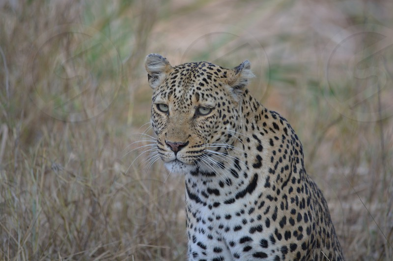 Leopard on the prowl photo