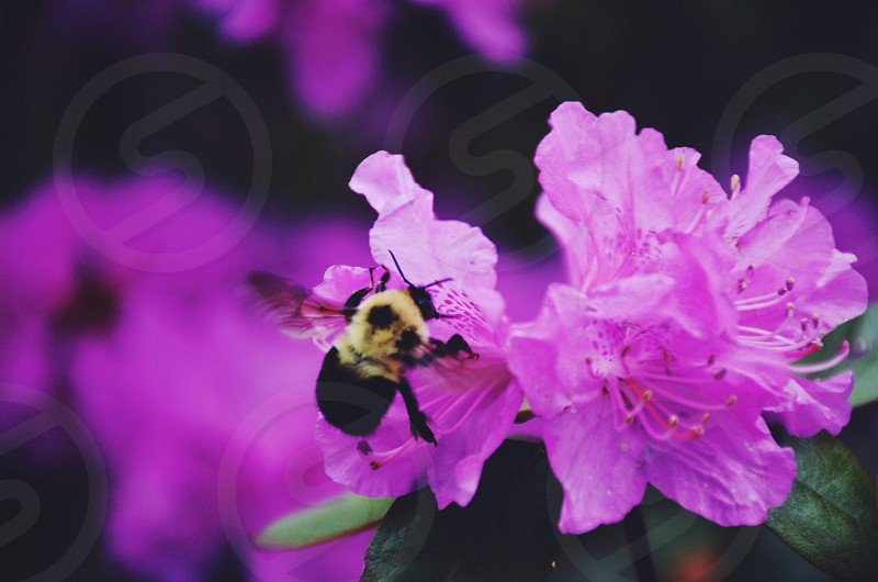 bumble bee on pink flower photo