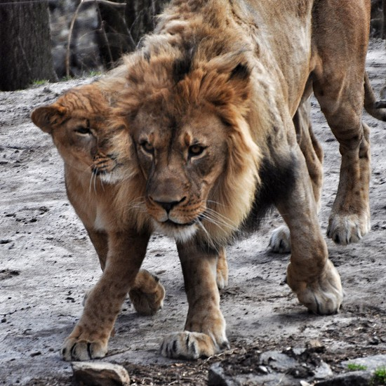 2 brown and white lions standing on gray ground photo