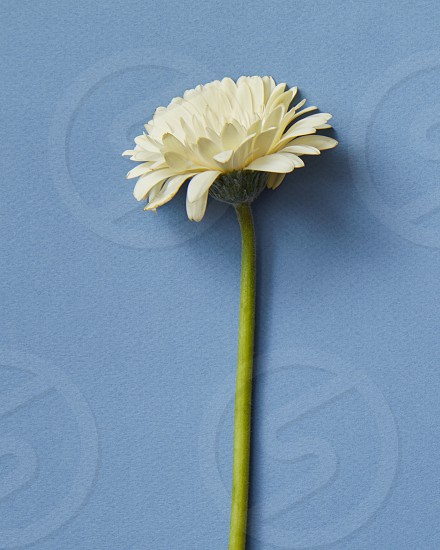 Flower gerbera. Minimalistic spring composition of a white gerbera on a blue background. As post card for Mother's day or 8 march. photo
