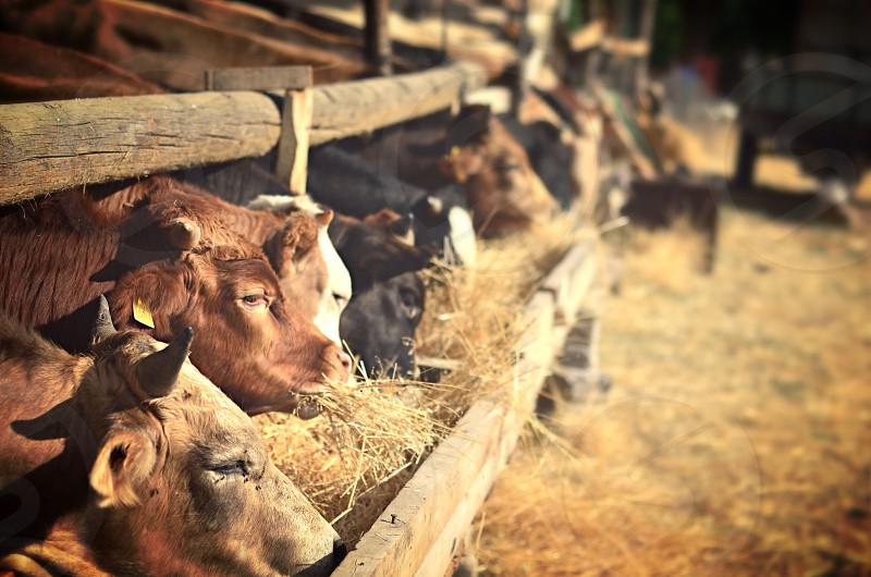 Farm cow photo