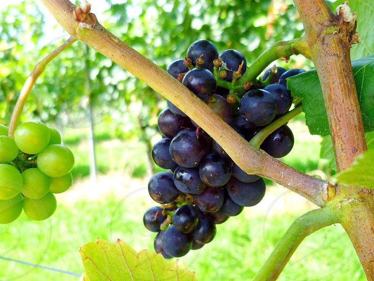 #vineyard #grapes #twokindsonevine #farms photo