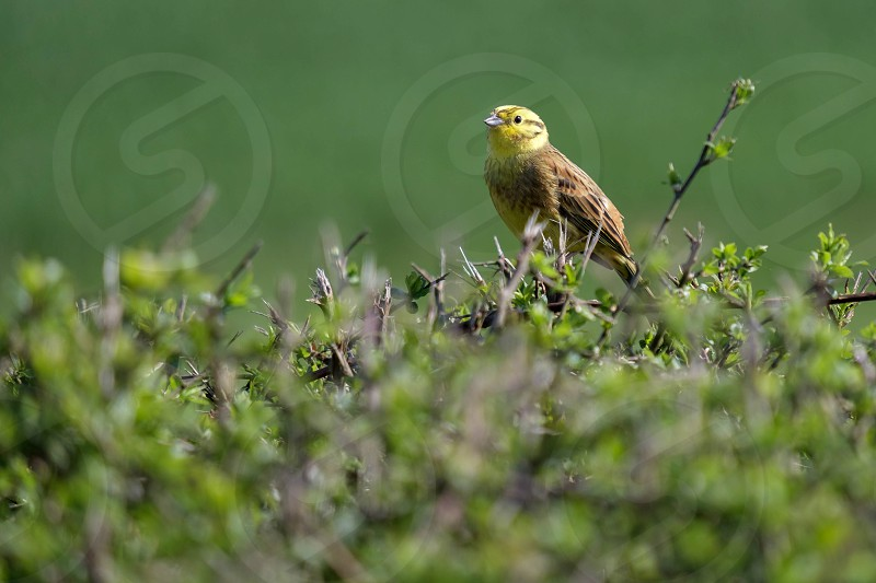 Yellowhammer (Emberiza citrinella) photo