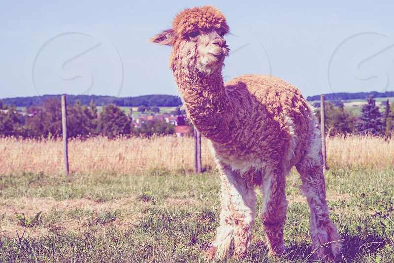 Young alpaca photo