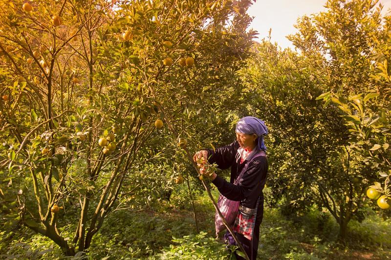 amandarine or orange plantation near the city of Chiang Rai in North Thailand. photo