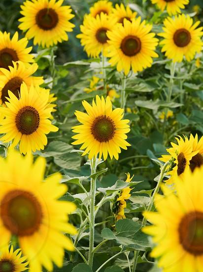 Sunflowers field in Hawaii  photo