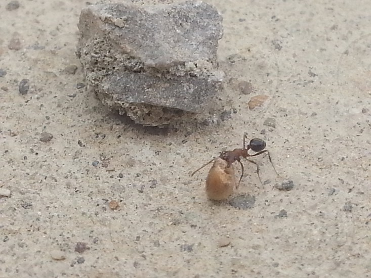 Perfect Zoom Ant carrying Food passing by a stone photo