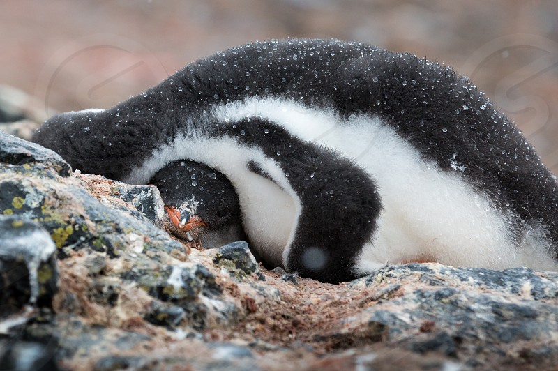 gentoo penguins on Hannah Point antarctica  photo