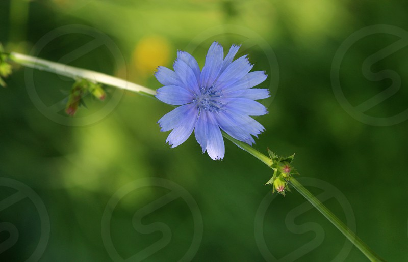 purple chicory blossom green background greeting card photo