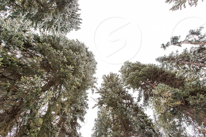 Looking up at the snow covered forest just outside of Big Sky Montana photo