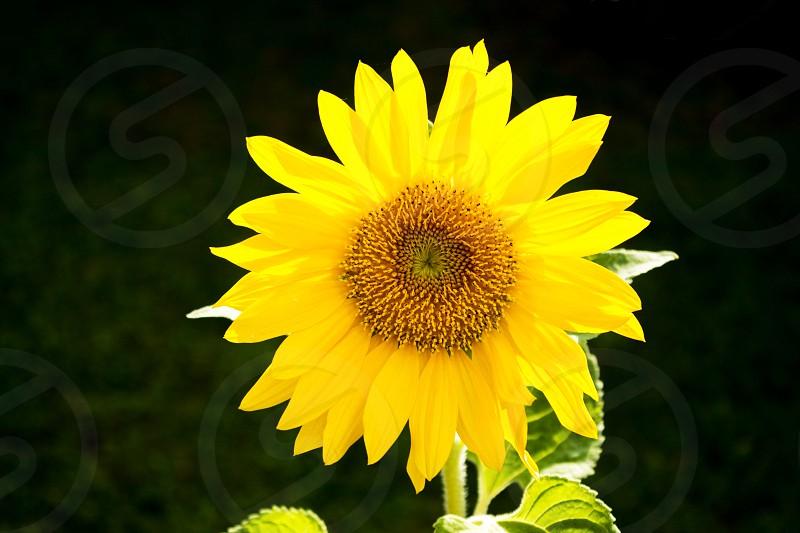 Sunflower in our garden photo