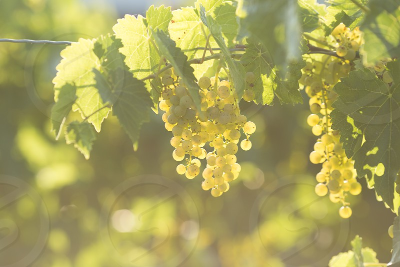 Grapes growing on the vine backlit by the sun photo