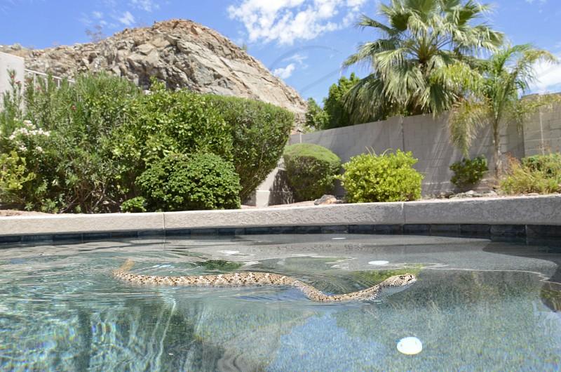 Western diamondback rattlesnake (Crotalus atrox) demonstrating its swimming ability in a backyard swimming pool in Phoenix Arizona. photo