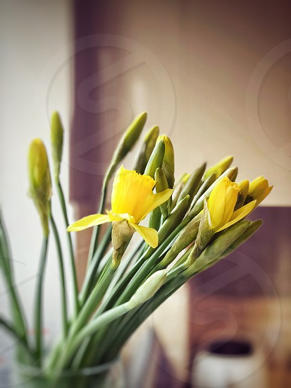 Daffodilsspringflowersnew yearyellow photo