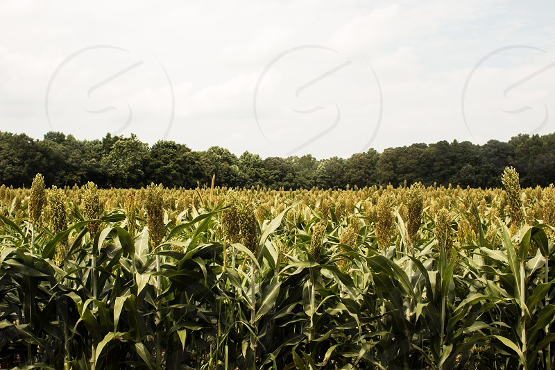 Grain sorghum with a forest background photo