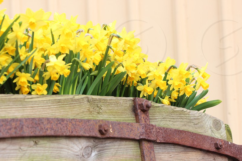 Daffodilsyellowspringwoodenwagonflower photo