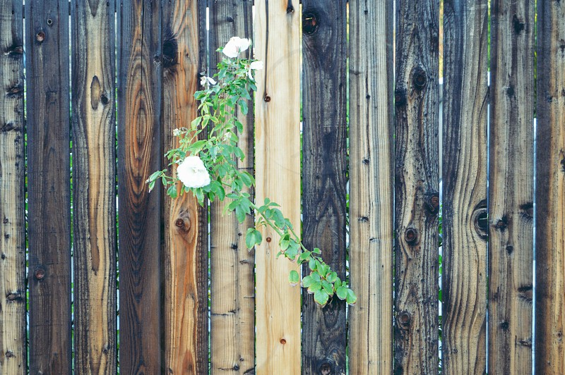 Flowers blooming through the fence photo