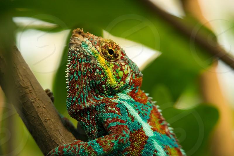 Zoo Zuerich Switzerland Chameleon photo